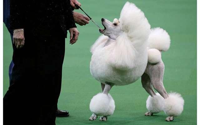 В США выбрали самую красивую собаку