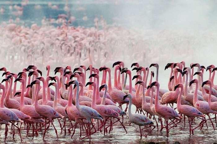 Розовые фламинго на фотографиях Мартина Харви