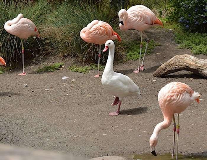 Утки, которые считают себя фламинго